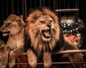 Circus Lions in Cairo Egypt